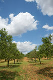 Almond tree orchard Stock Photography