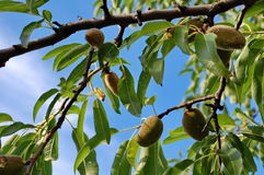 Almond tree. Photography of almond tree with blue sky in the background Royalty Free Stock Photos