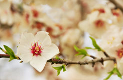 Almond tree pink flower Stock Images