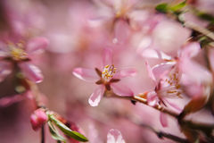 The almond tree pink flower close-up with branch Royalty Free Stock Photos