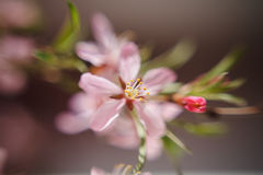 The almond tree pink flower close-up with branch Stock Photo