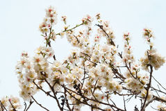 Almond tree pink flowers. Royalty Free Stock Photography