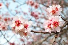 Almond tree pink flowers. Stock Photos