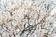 Almond tree pink flowers. Royalty Free Stock Photos