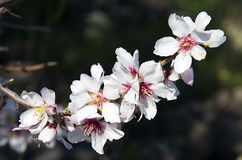 Almond tree pink flowers Royalty Free Stock Photos