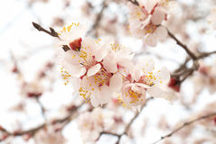 Almond tree pink flowers. Royalty Free Stock Photo