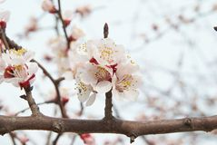 Almond tree pink flowers. Stock Photography