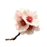 Almond tree pink flowers Stock Photos