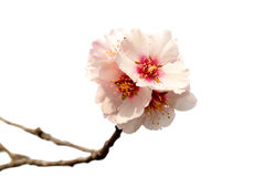 Almond tree pink flowers Royalty Free Stock Photos