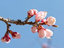 Almond tree pink flowers. Buds of the blossoming almonds. Blue sky. Spring blossoming. Springtime. Close up. stock photo