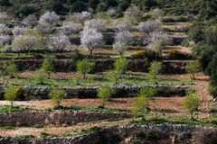 Almond tree plantation Royalty Free Stock Images