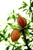 Almond tree with ripe fruits Stock Photo