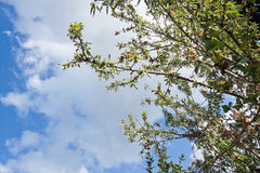 Almond tree with ripe nuts Royalty Free Stock Photo
