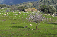 Almond tree and sheep Royalty Free Stock Photo
