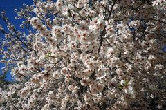Almond tree and sky. Flowering almond tree in orchard Royalty Free Stock Photos