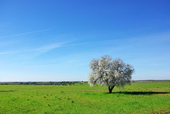 Almond tree , south of Portugal. Royalty Free Stock Photos
