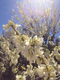 Almond tree in spring. The beauty created the sun's rays hit the almond tree Stock Image