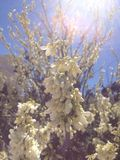 Almond tree in spring. The beauty created the sun's rays hit the almond tree Stock Images