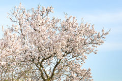 Almond tree with spring blossom flowers Royalty Free Stock Photo