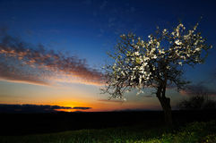 Almond tree at sunset. Flowering almond tree at sunset, Sardinia, Italy Royalty Free Stock Photos