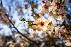 Almond tree Royalty Free Stock Photography