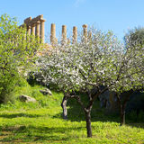 Almond tree and Temple of Juno. Valley of the Temples in Agrigento on Sicily, Italy stock photo