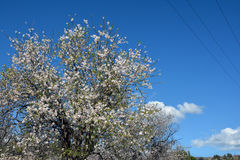 ALMOND TREE. S of Cyprus. The trees are strikingly beautiful when in flower; they produce fragrant, five-petaled, light pink to white flowers from late January Royalty Free Stock Photography