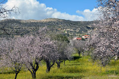 ALMOND TREE Royalty Free Stock Images