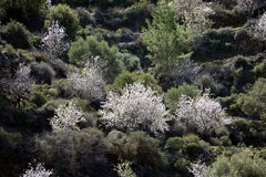ALMOND TREE. S of Cyprus. The trees are strikingly beautiful when in flower; they produce fragrant, five-petaled, light pink to white flowers from late January Stock Image
