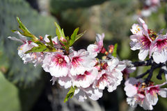 ALMOND TREE. S of Cyprus. The trees are strikingly beautiful when in flower; they produce fragrant, five-petaled, light pink to white flowers from late January Stock Photos