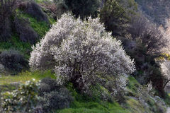 ALMOND TREE. S of Cyprus. The trees are strikingly beautiful when in flower; they produce fragrant, five-petaled, light pink to white flowers from late January Royalty Free Stock Images