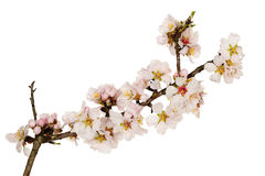 Almond tree twig Royalty Free Stock Image