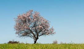 Almond tree with white blosoms Stock Photography
