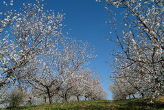 Almond trees. Landscape with almond trees with blossoms Royalty Free Stock Photo