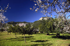 Almond Trees. Grove of almond trees, with mountains and deep blue sky in the background Royalty Free Stock Images