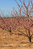 Almond trees Stock Photography