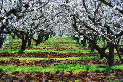 Almond trees. A path of blossom almond trees during spring Royalty Free Stock Image