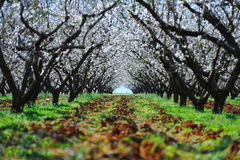 Almond trees. A path of blossom almond trees during spring Royalty Free Stock Photos