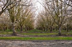 Almond Trees Royalty Free Stock Photos