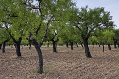 Almond trees. ( Prunus dulcis ) in Huesca, Spain Stock Photos