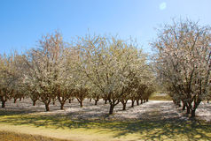 Almond trees. In american farmland stock photos