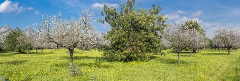 almond trees royalty free stock photography