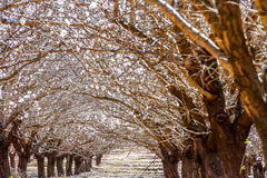 Almond trees beginning to blossom Stock Photo
