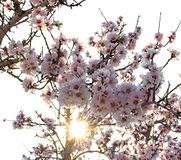 Almond trees in bloom against sunlight. Selective focus stock image