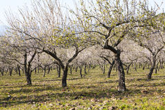 Almond-Trees in Bloom Stock Photo