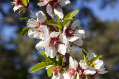 Almond-Trees in Bloom Stock Images