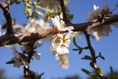 Almond-Trees in Bloom Royalty Free Stock Photography