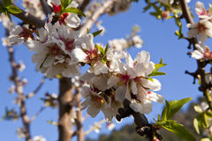 Almond-Trees in Bloom Stock Image