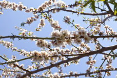 Almond-Trees in Bloom Royalty Free Stock Photo