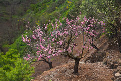 Almond trees blooming Royalty Free Stock Image